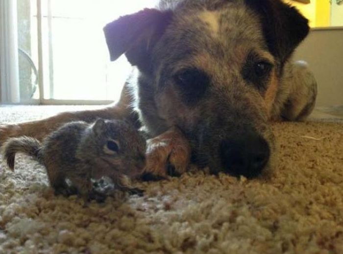 Dogs Adopt a Squirrel (16 pics)