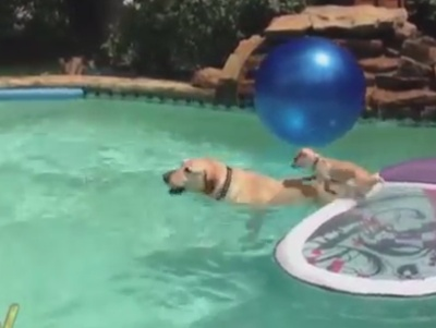 Puppy Uses a Dog to Cross a Swimming Pool