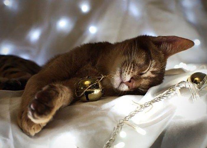 Funny Christmas Cats (30 pics)
