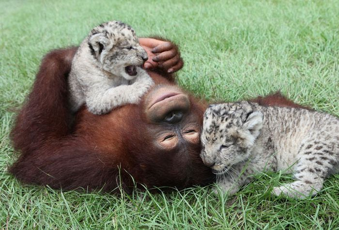 Lion Cubs with Their New Dad (11 pics)