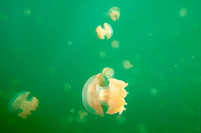 Jellyfish Lake (25 pics)