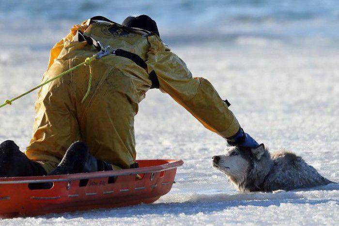 Husky Rescue (9 pics)