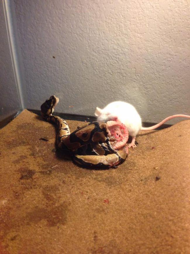 Rat vs Snake (2 pics)