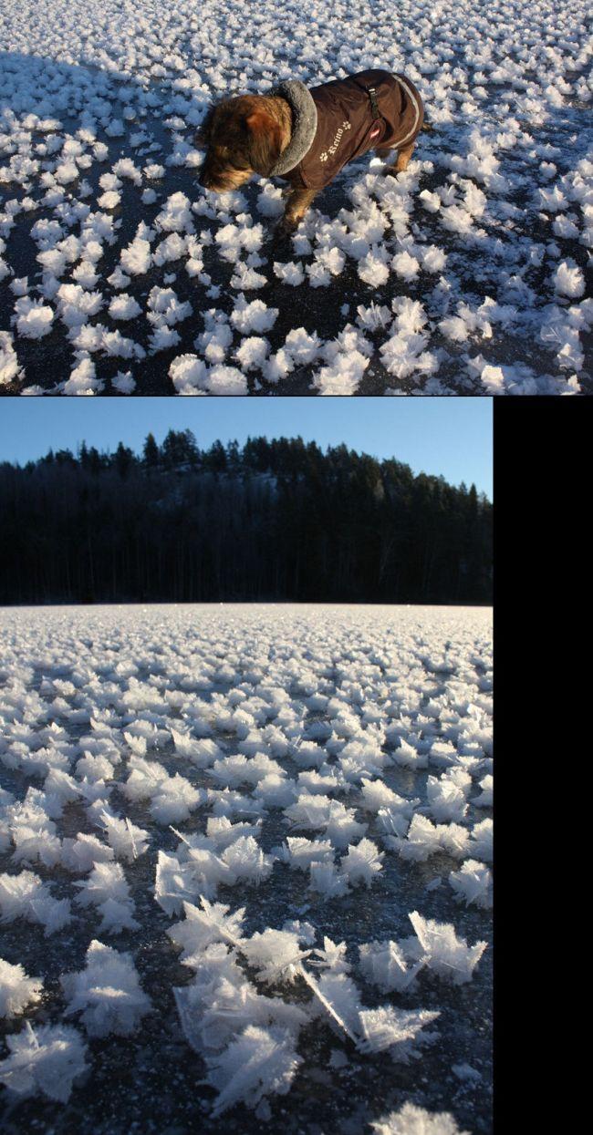 Beautiful Winter Phenomenon Called Frost Flowers (5 pics)