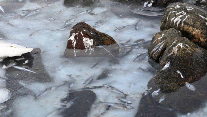 Flash-Frozen Fish in Norway (8 pics)