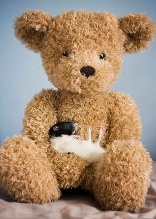 Rats with Teddy Bears (21 pics)