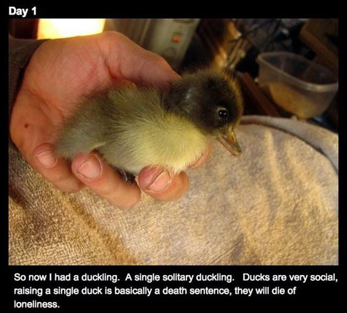 Duckling and the Beard (16 pics)