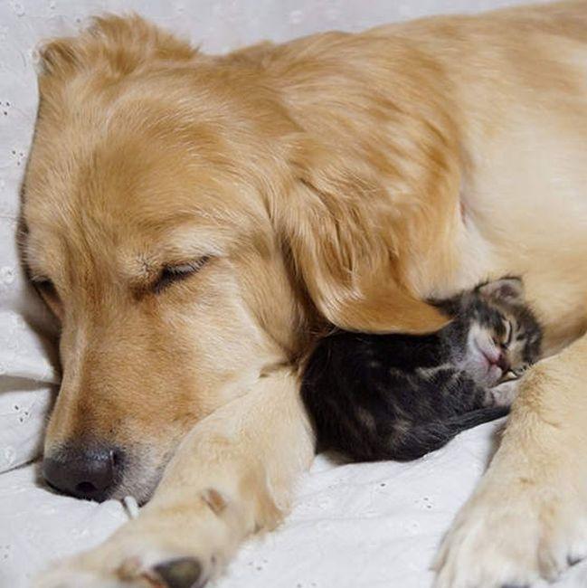 Golden Retriever Adopts a Kitten (8 pics)