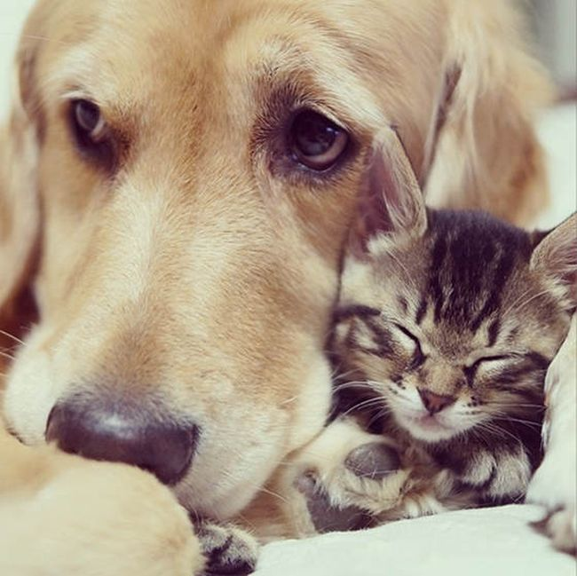 Golden Retriever Adopts a Kitten (8 pics)