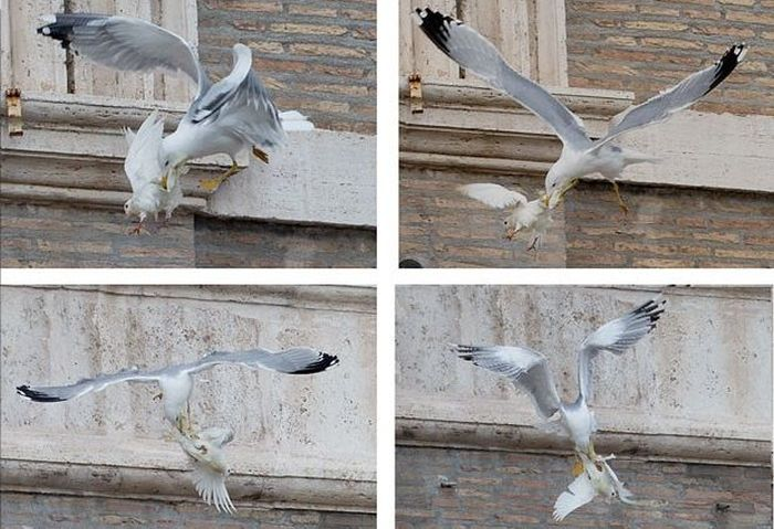 Dove of Peace Attacked by Seagull (4 pics)