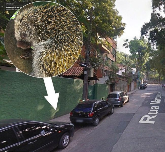 Porcupine Falls from a Lamp Post onto Woman (6 pics)