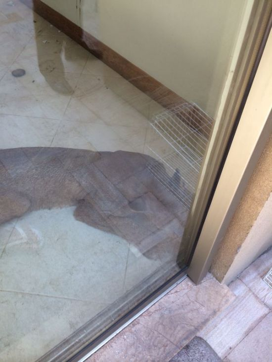 Cougar Broke into a House (4 pics)