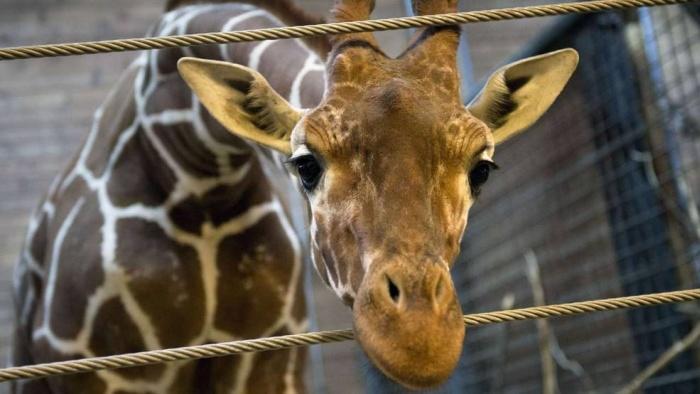 Marius the Giraffe Killed at Copenhagen Zoo (13 pics)