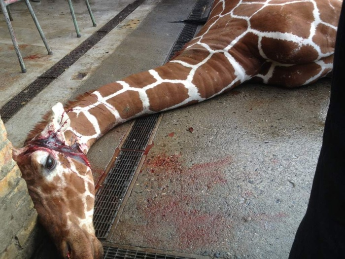 Marius the Giraffe Killed at Copenhagen Zoo (13 pics)
