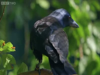 Crow Solves a 8 Step Puzzle