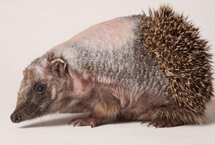 Recovery of a Hedgehog (12 pics)