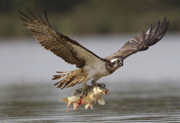 Hunting Osprey (8 pics)