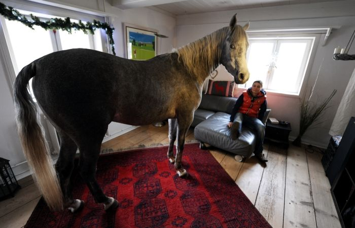 A Horse Sheltered From Storms in the Owner's House (7 pics)