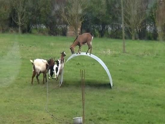 Goats Balancing