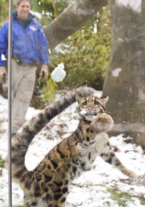 Leopard Playing with Snow (10 pics)