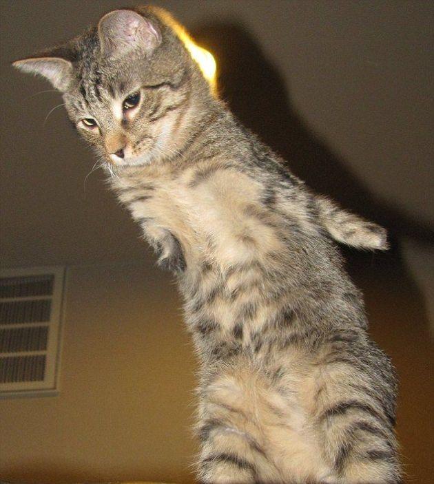 Two-Legged Kitten Mercury (16 pics)
