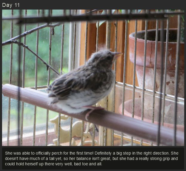 Raising a Baby Songbird (23 pics)
