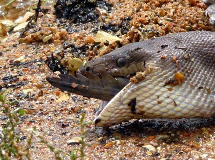 Python Eats Crocodile (13 pics)