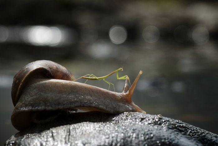 Praying Mantis Rides Snail (5 pics)