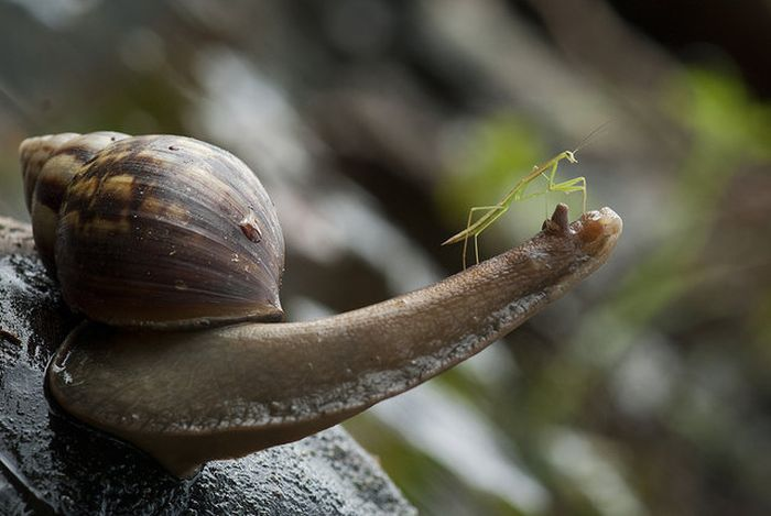 Praying Mantis Rides Snail (5 pics)
