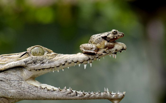 Frog on a Crocodile's Nose (5 pics)