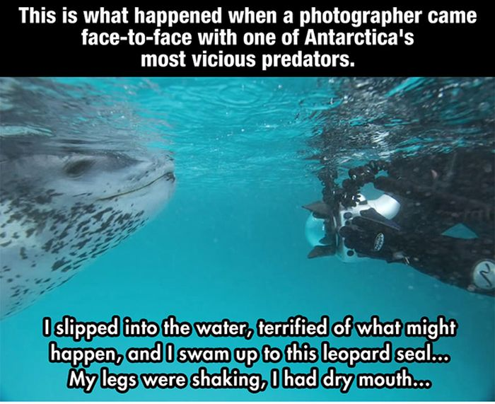 Photographer Meets a Leopard Seal (10 pics)