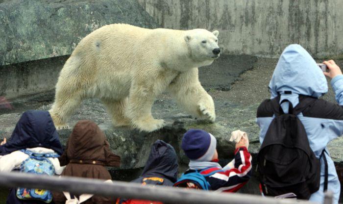 Polar Bear Anton Dies After Eating Visitor's Stuff (2 pics)