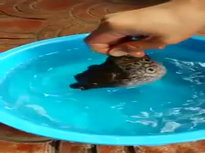 How Puffer Fish Balloon Protects It