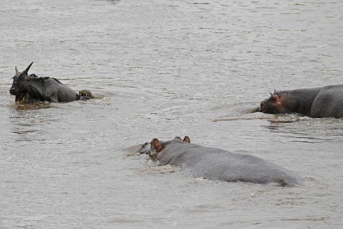 Hippo Saves Gnu from Crocodile (11 pics)