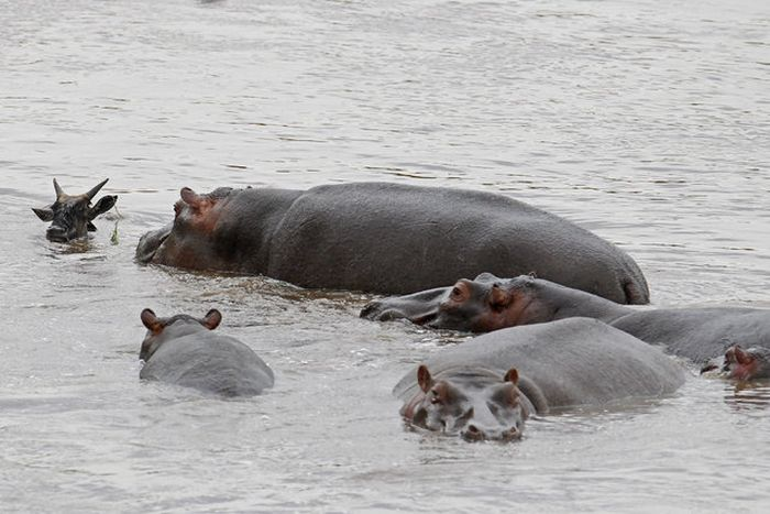 Hippo Saves Gnu from Crocodile (11 pics)