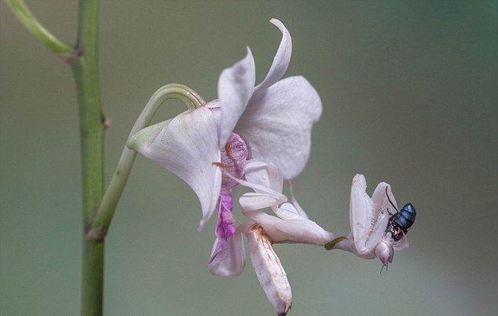 Orchid Mantis (3 pics)