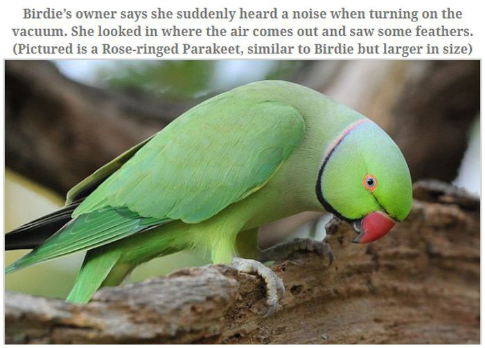 A Parakeet Survived After Being Sucked Into a Vacuum (5 pics)
