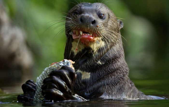 Otter Kills an Alligator (5 pics)