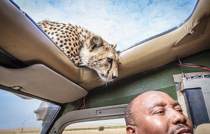Why You Should Always Close Your Car's Sunroof on Safari (5 pics)