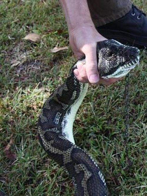Giant Python Swallowed a Pet Dog  (3 pics)