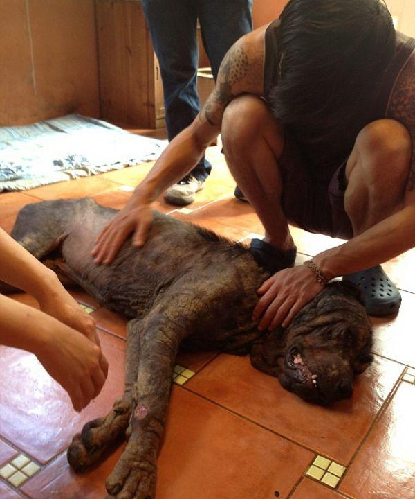 Rottweiler Transformation (5 pics)