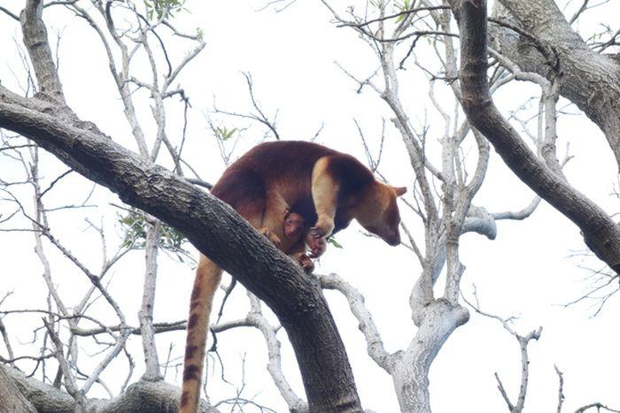 Baby Tree Kangaroo Joey (10 pics)