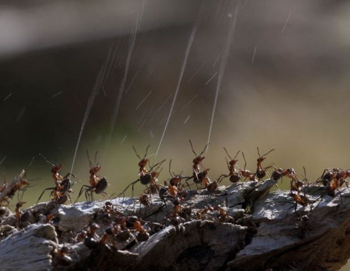 How Ants Protect Themselves Against Birds (5 pics)