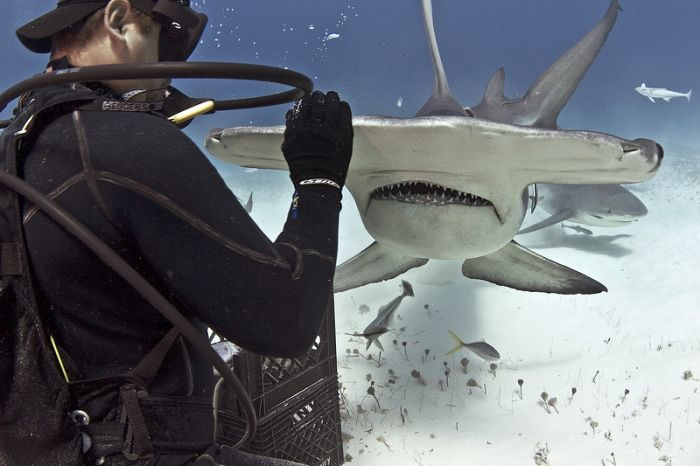 Diver Feeds Shark (5 pics)