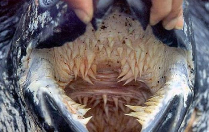 Leatherback Turtle's Mouth (4 pics)