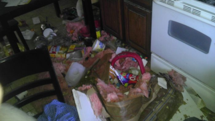 Raccoons Invaded a House (10 pics)
