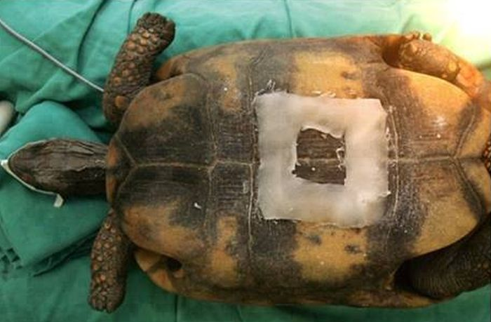 Caesarean Section for a Turtle (6 pics)