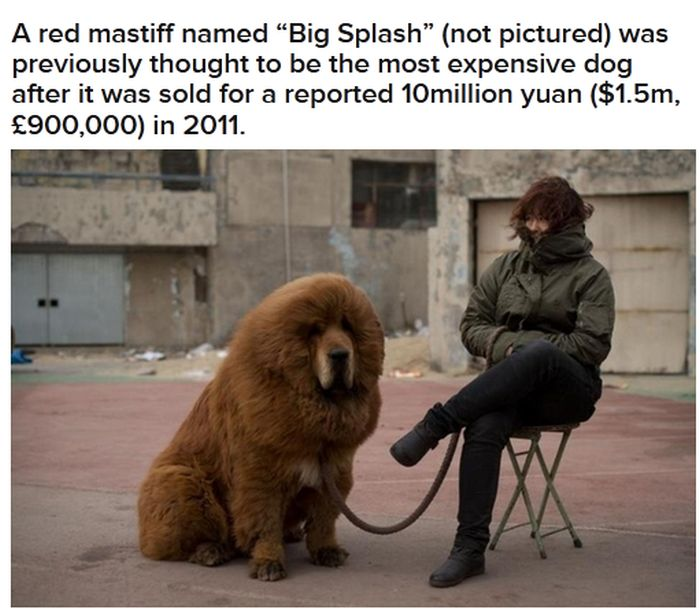 World's Most Expensive Dog (4 pics)