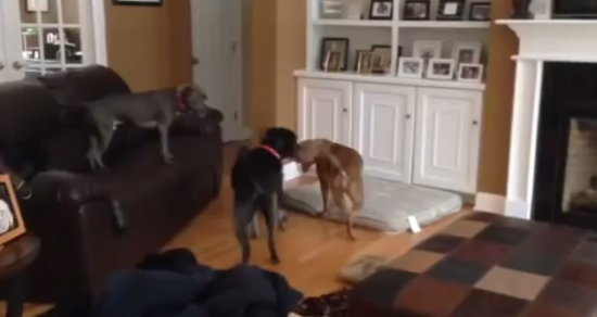 Funny Dog Plays Floor is Lava Game