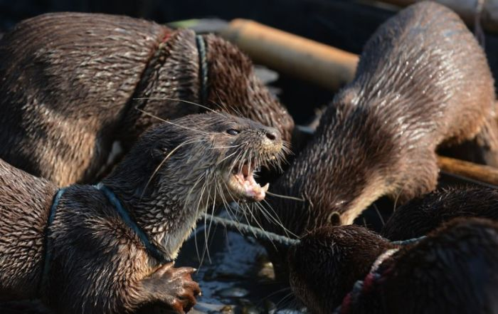 Fishing with Otters (8 pics)
